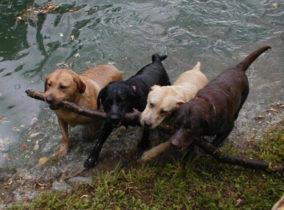 honden willen samenwerken