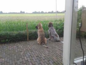 Gastgezin Hondenpension Oud Duitse Herder Spinone Italiano