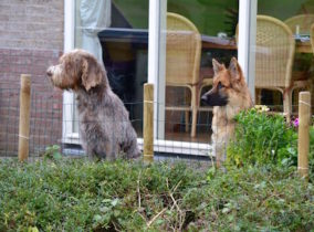 Spinone Italiano Oud Duitse Herder Gastgezin Hondenpension CADIRI