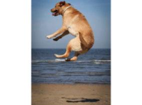 opspringende hond labrador retriever