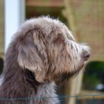 spinone italiano is held