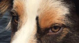 Ogen van een Australian Shepherd